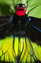 Common Birdwing Butterfly (Troides helena cerberus)